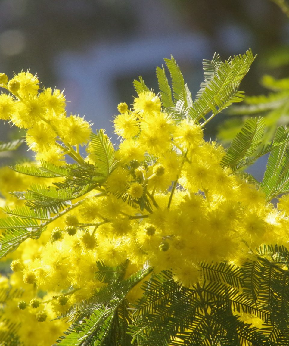 mimosa-3244778_1920